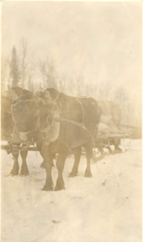 2 oxen pulling load during construction of the Grand Trunk … (descriptions1106)