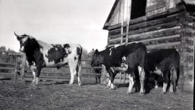 Three cows in front of a barn. (descriptions2553)