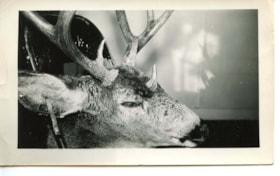 Picture of a deer with three horns, Smithers 1947 (descriptions4873)