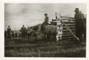 Steer riding at Moricetown Sports Day (descriptions8007)