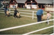 4H children walking with sheep Fall Fair (descriptions9176)
