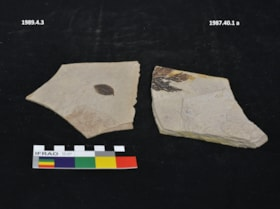 Thuja fossil (artifacts823)