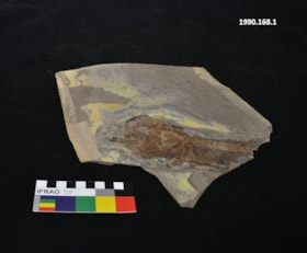 Vertebrate fossil (artifacts1063)